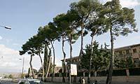 El Ayuntamiento de Huesca talará nueve pinos centenarios